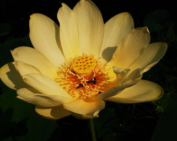 Wildflowers Poster featuring the photograph American Lotus by Ron Kruger
