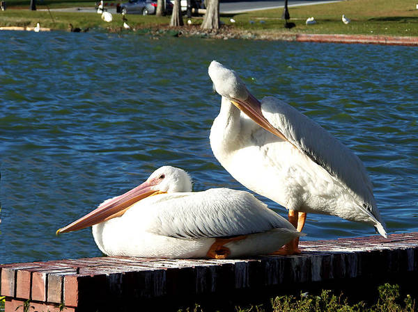American White Pelican Poster featuring the photograph American White Pelican 001 by Chris Mercer