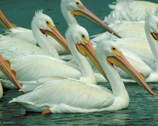 White Pelicans Poster featuring the photograph American White Pelicans by Bruce Morrison