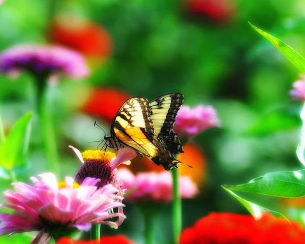 Butterfly Poster featuring the photograph Amongst The Flowers by Bill Cannon