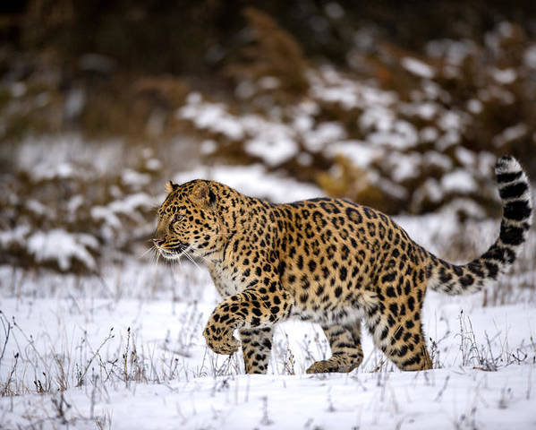 Adapt Poster featuring the photograph Amur Leopard Walks In A Snowy Forest by Gavin Baker
