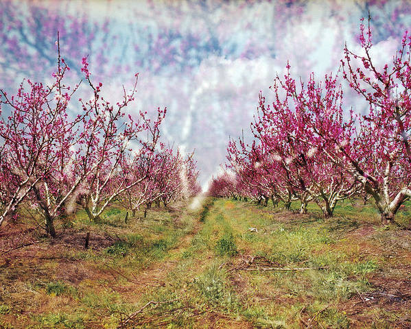 An Orchard In Blossom In The Golan Heights Poster featuring the photograph An Orchard In Blossom In The Golan Heights by Dubi Roman