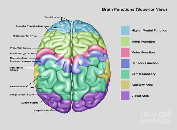 Anatomy & Functions Of Brain Poster by Gwen Shockey