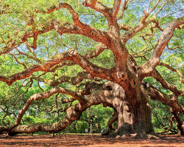 Ancient Poster featuring the photograph Angel Oak - Charleston Sc by Drew Castelhano