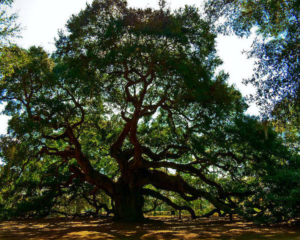 Tree Poster featuring the photograph Angel Oak Tree 2004 by Louis Dallara