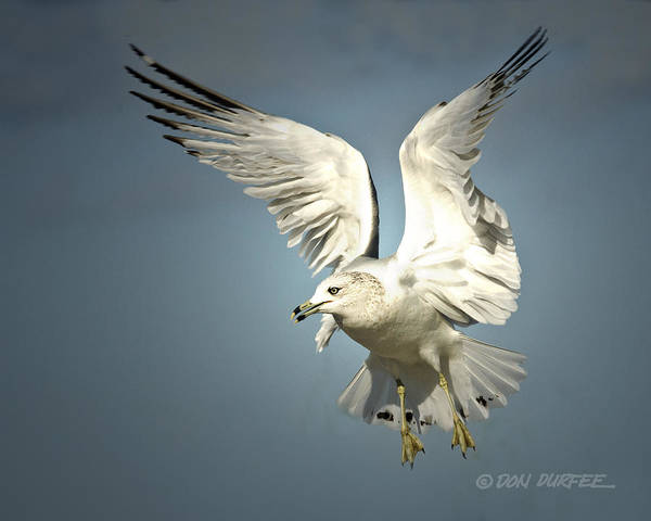 Seagull Poster featuring the photograph Angel Wings by Don Durfee