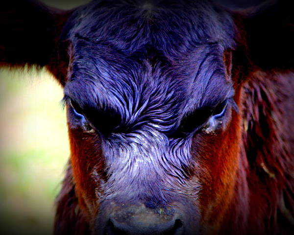Cattle Photographs Poster featuring the photograph Angry Black Angus Calf by Tam Graff