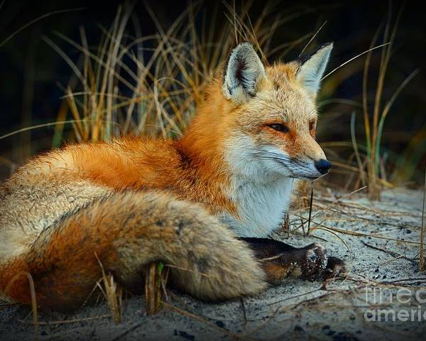 Paul Ward Poster featuring the photograph Animal - The Alert Fox by Paul Ward