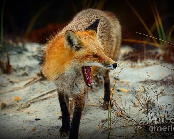 Paul Ward Poster featuring the photograph Animal - The Yawning Fox by Paul Ward
