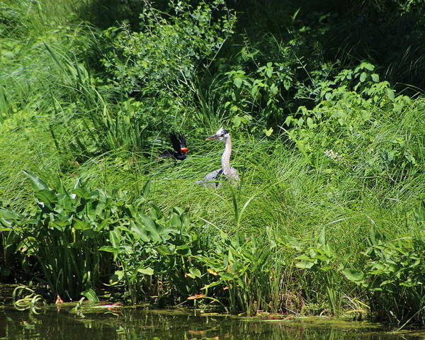 Marsh Poster featuring the photograph Annoyed - Heron and Red Winged Blackbird 5 of 10 by Colleen Cornelius
