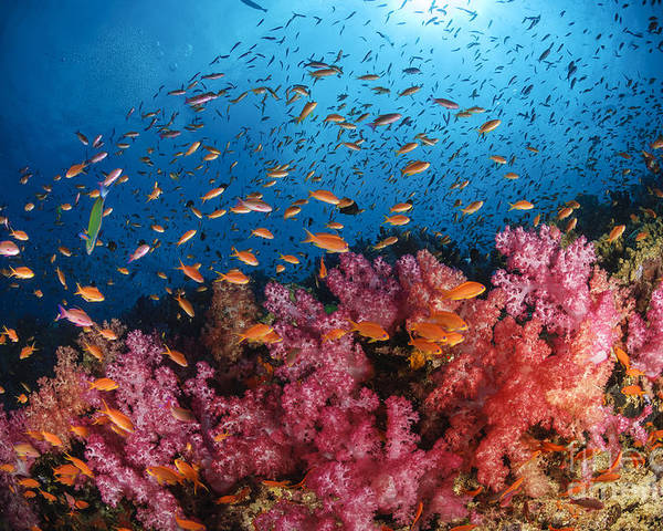Animals In The Wild Poster featuring the photograph Anthias Fish And Soft Corals, Fiji by Todd Winner
