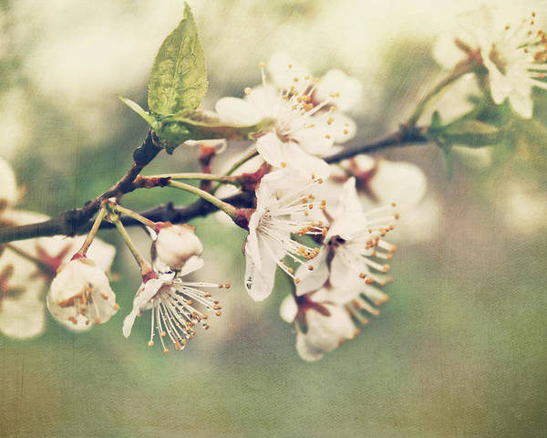 Apple Poster featuring the photograph Apple Blossom Branch In Early Spring by Sandra Cunningham