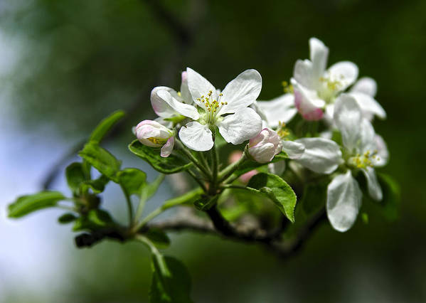 Apple Blossom Poster featuring the photograph Apple Blossom In Iowa by Rod Schall