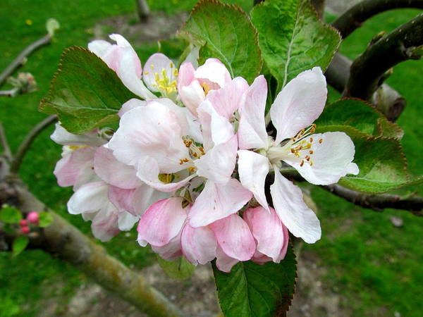 Apple Blossom. Poster featuring the photograph Apple Blossom by Joyce Woodhouse