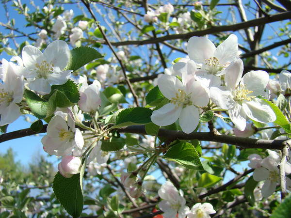 �blossoms Artwork� Poster featuring the photograph Apple Blossoms Art Prints 60 Spring Apple Tree Blossoms Blue Sky Landscape by Baslee Troutman