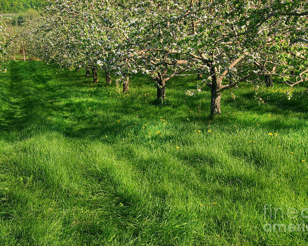 Agriculture Poster featuring the digital art Apple Orchard by Sandra Cunningham