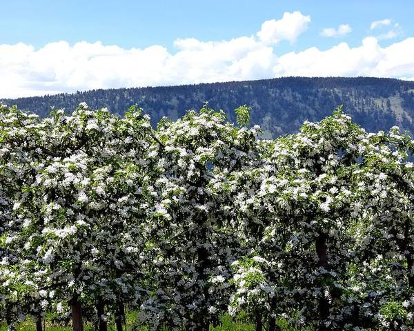 Apple Blossoms Poster featuring the photograph Apple Trees In Bloom   by Will Borden