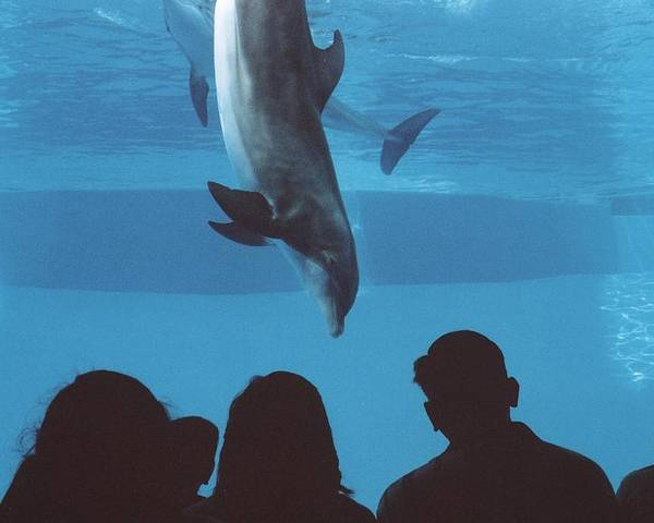 Dolphin Poster featuring the photograph Aquarium Dolphin by Wendell Baggett