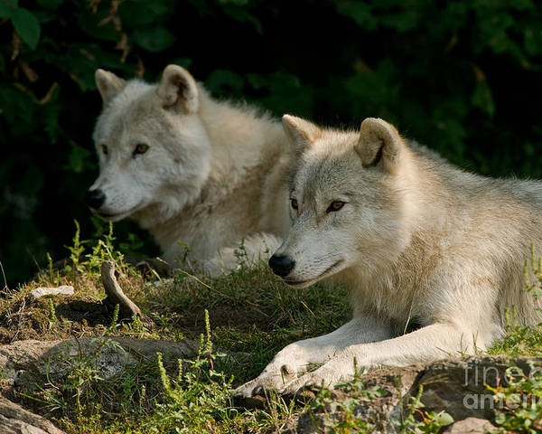 Arctic Wolf Poster featuring the photograph Arctic Wolf Pictures 1268 by World Wildlife Photography