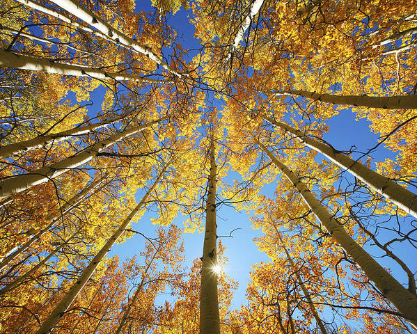 Aspen Poster featuring the photograph Aspen Tree Canopy 2 by Ron Dahlquist - Printscapes