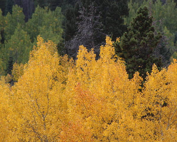 Trees Poster featuring the photograph Aspen Trees In Full Bloom by Mary L Farley-White