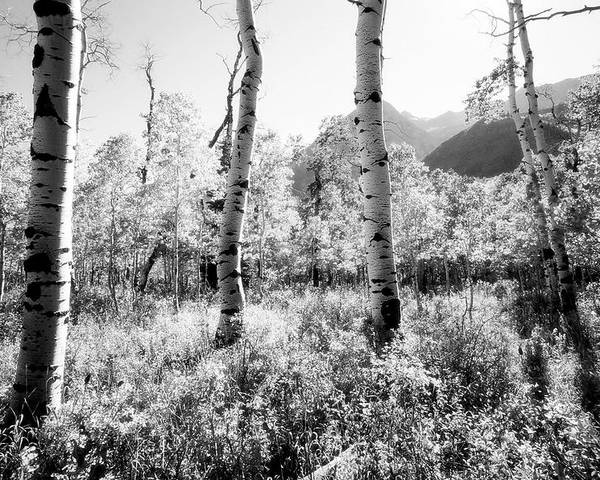 Landscape Poster featuring the photograph Aspens Black And White by Caroline Clark