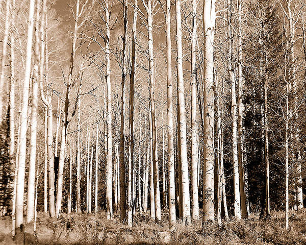 Aspens Poster featuring the photograph Aspens by Heather S Huston