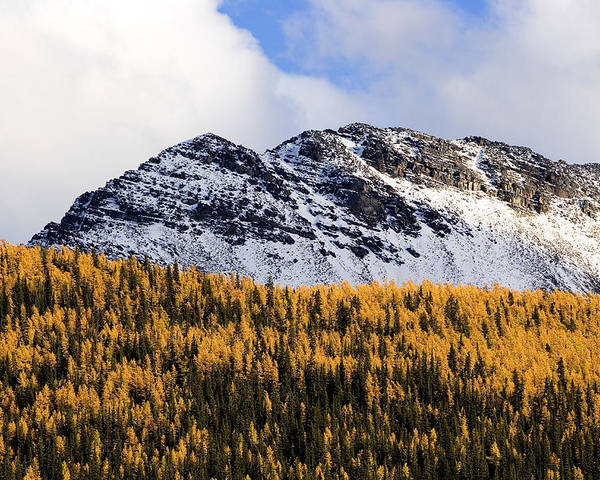 Aspen Poster featuring the photograph Aspens In Fall Colors by Richard Steinberger