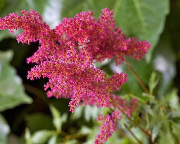 Astilbe Bloom Poster featuring the photograph Astilbe Bloom by Robert Joseph