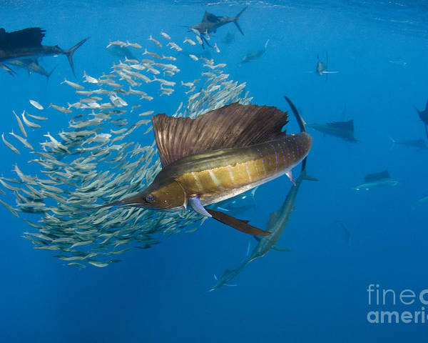 00456229 Poster featuring the photograph Atlantic Sailfish Hunting by Pete Oxford