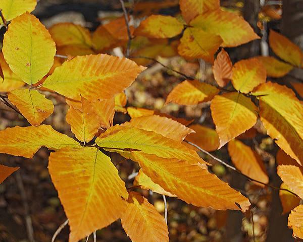 Beech Photographs Poster featuring the photograph Autumn Beech by Michael Peychich