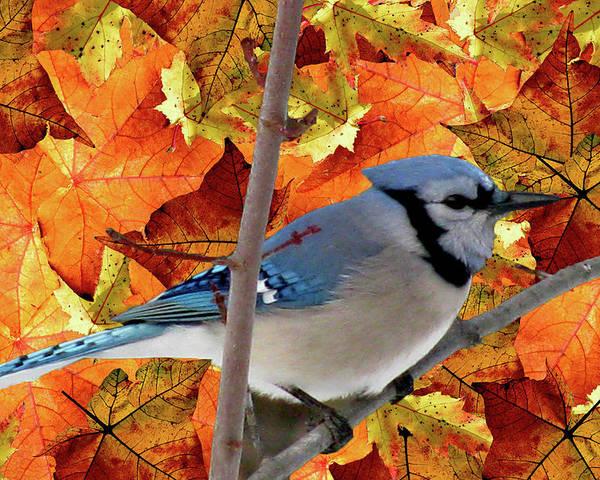 Autumn Blue Jay Poster featuring the mixed media Autumn Blue Jay by Debra   Vatalaro