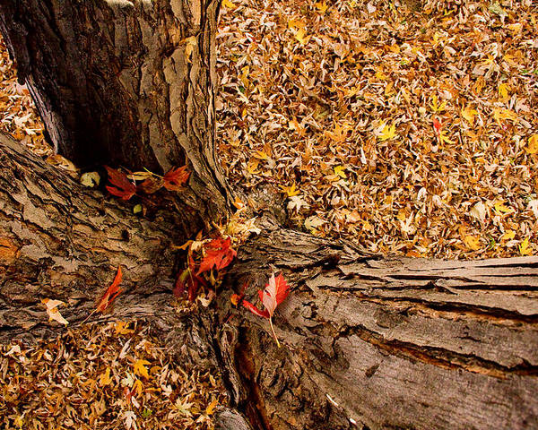 Maple Tree Poster featuring the photograph Autumn Fall by James BO Insogna