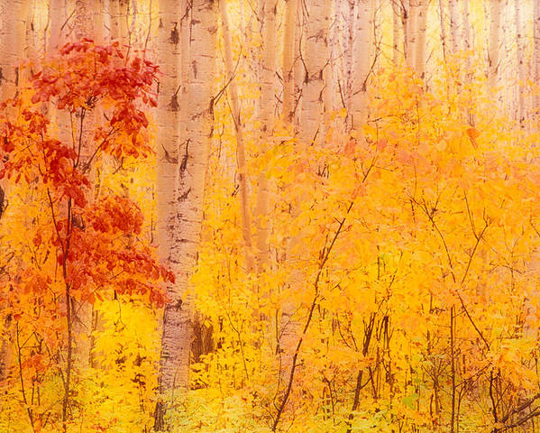 Photography Poster featuring the photograph Autumn Forest Wbirch Trees Canada by Panoramic Images