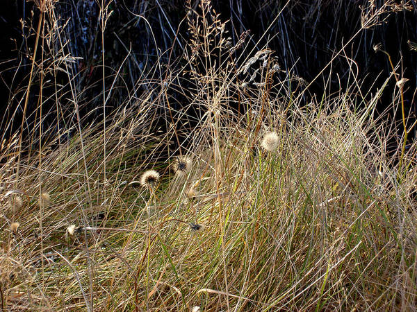 Natue Poster featuring the photograph Autumn Grass by Marilynne Bull