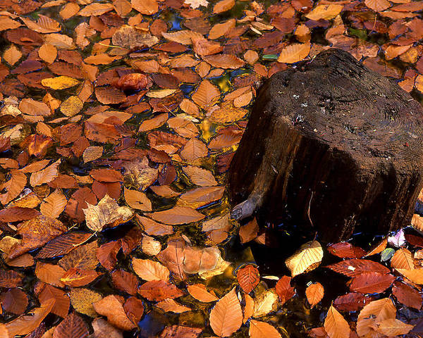 Autumn Poster featuring the photograph Autumn Leaves And Tree Stump by Barry Shaffer