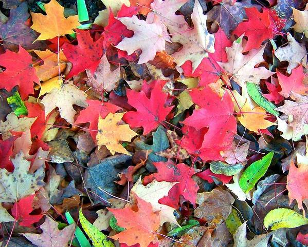 Fall Poster featuring the photograph Autumn Leaves by Mitch Cat