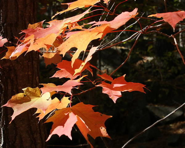 Leaves Poster featuring the photograph Autumn Leaves by Ron Read