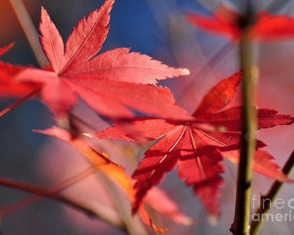 Photography Poster featuring the photograph Autumn Maple by Kaye Menner