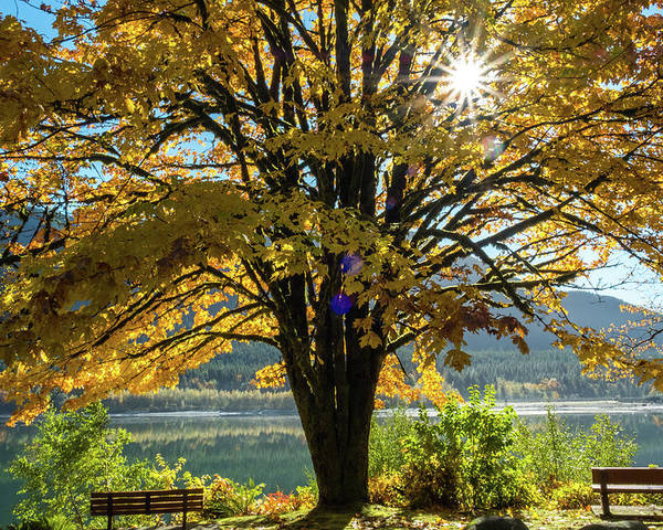 Maple Tree Poster featuring the photograph Autumn Splendour by Michele Broadfoot