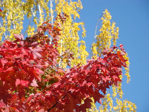 Autumn Poster featuring the photograph Autumn Trees Red Yellow Fall Tree Blue Sky Landsape by Baslee Troutman
