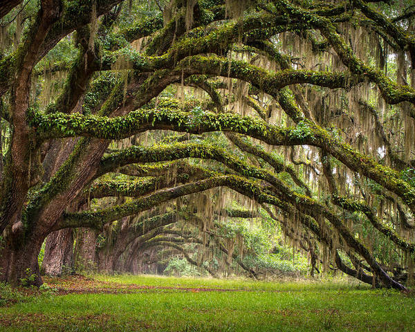 Charleston Sc Poster featuring the photograph Avenue Of Oaks - Charleston Sc Plantation Live Oak Trees Forest Landscape by Dave Allen