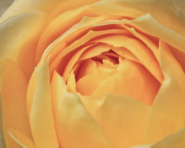 ryankellyphotography@gmail.com Poster featuring the photograph Awakening Yellow Bare Root Rose by Ryan Kelly