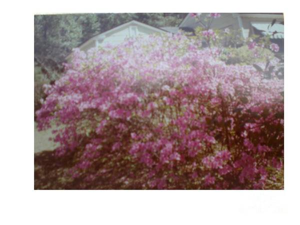 Azalea's Poster featuring the photograph Azalea Framed By Roof by Hal Newhouser
