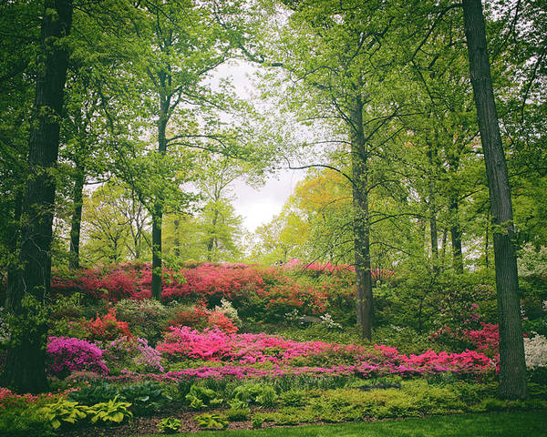 Azaleas Poster featuring the photograph Azalea Hillside by Jessica Jenney