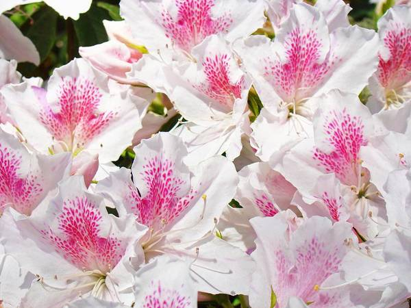 Azaleas flowers pink white azalea floral baslee troutman poster by azalea poster featuring the photograph azaleas flowers pink white azalea floral baslee troutman by baslee troutman mightylinksfo Images