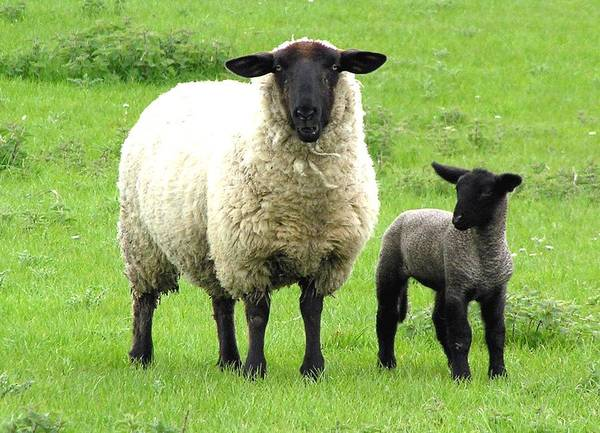 Sheep Poster featuring the photograph Baa Baa by Jeanette Oberholtzer