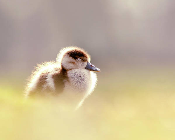 2cd3912d2999 Gosling Poster featuring the photograph Baby Animals Series - Zen Gosling  by Roeselien Raimond