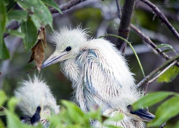 Bird Poster featuring the photograph Baby Egret by Kenneth Albin