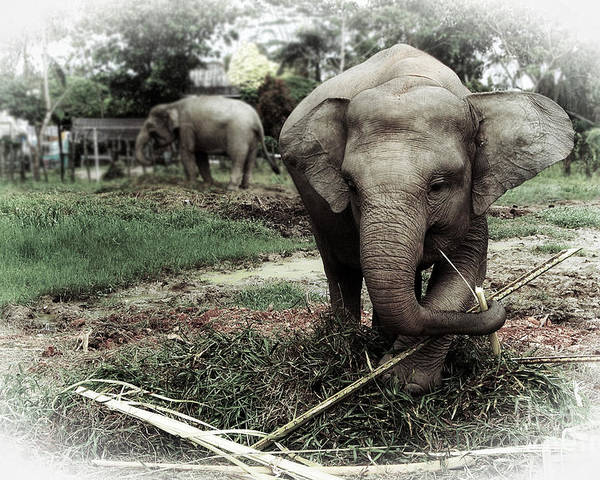 Baby Elephant Poster featuring the photograph baby Elephant Color by Charuhas Deshpande